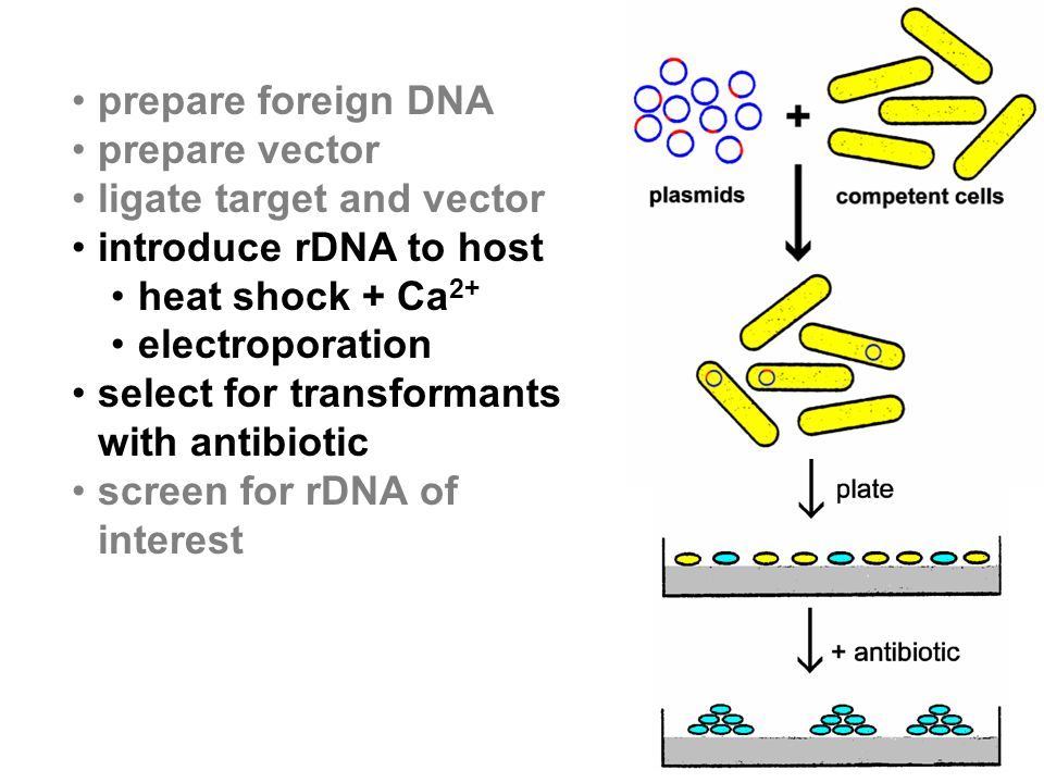 prepare foreign DNA prepare vector ligate target and vector introduce rDNA to host heat shock + Ca 2+ electroporation select for transformants with antibiotic screen for rDNA of interest
