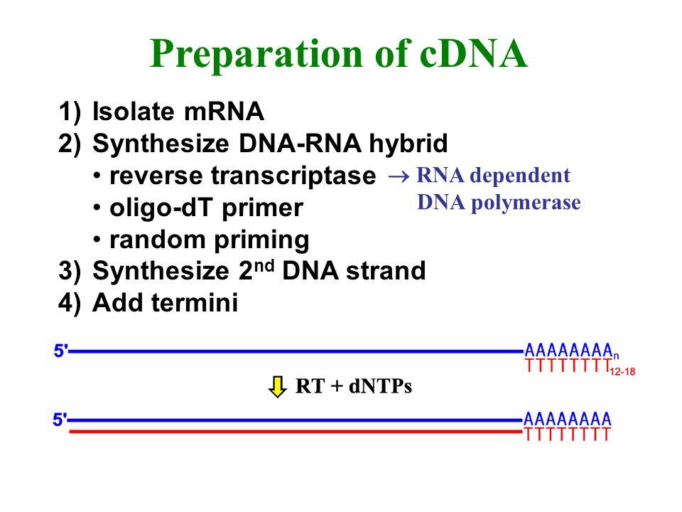 Preparation of cDNA 1)Isolate mRNA 2)Synthesize DNA-RNA hybrid reverse transcriptase oligo-dT primer random priming 3)Synthesize 2 nd DNA strand 4)Add