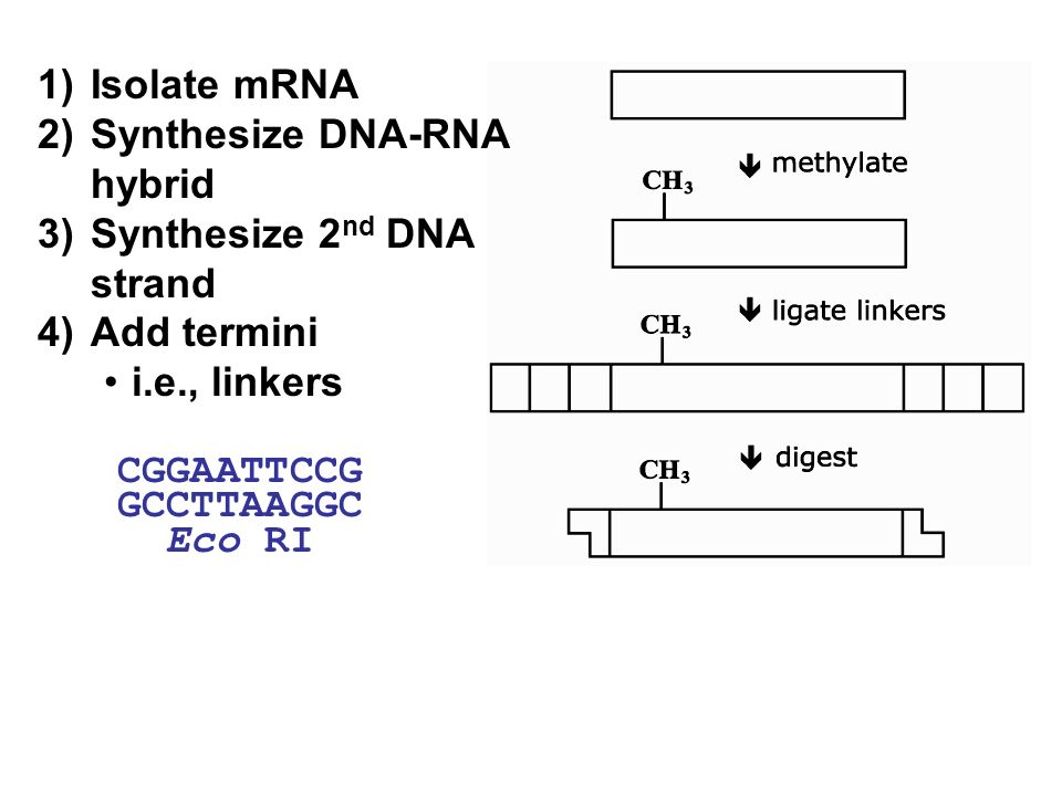 1)Isolate mRNA 2)Synthesize DNA-RNA hybrid 3)Synthesize 2 nd DNA strand 4)Add termini i.e., linkers CGGAATTCCG GCCTTAAGGC Eco RI