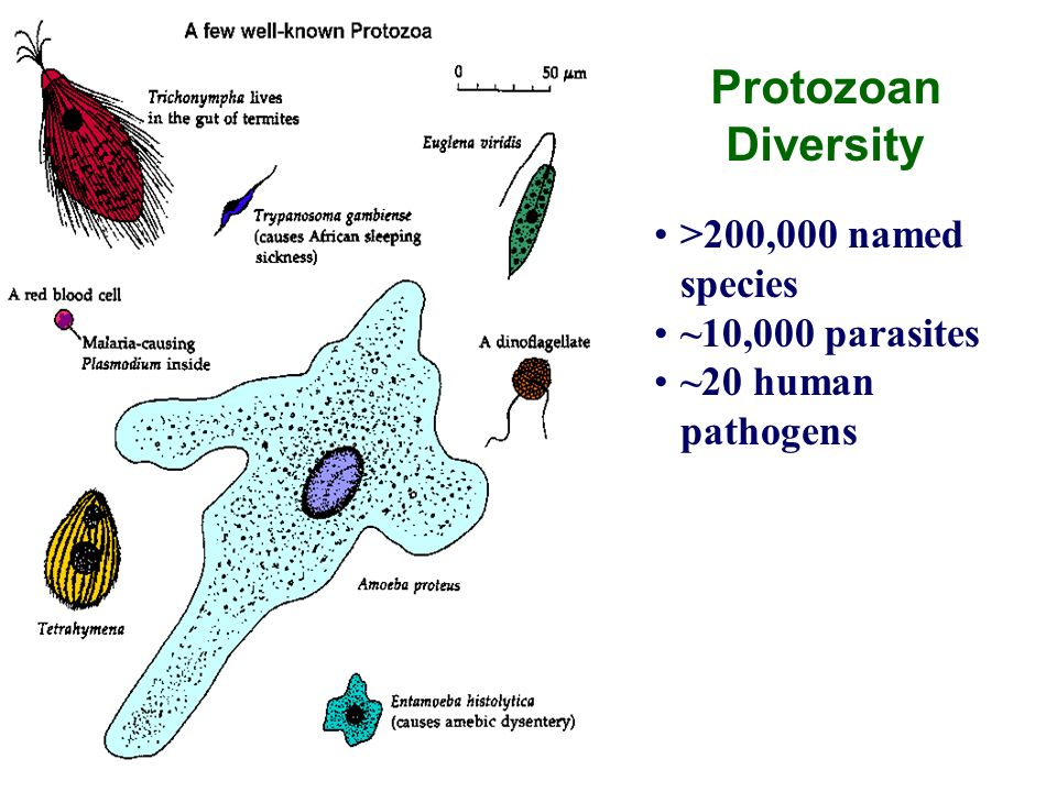 >200,000 named species ~10,000 parasites ~20 human pathogens Protozoan Diversity