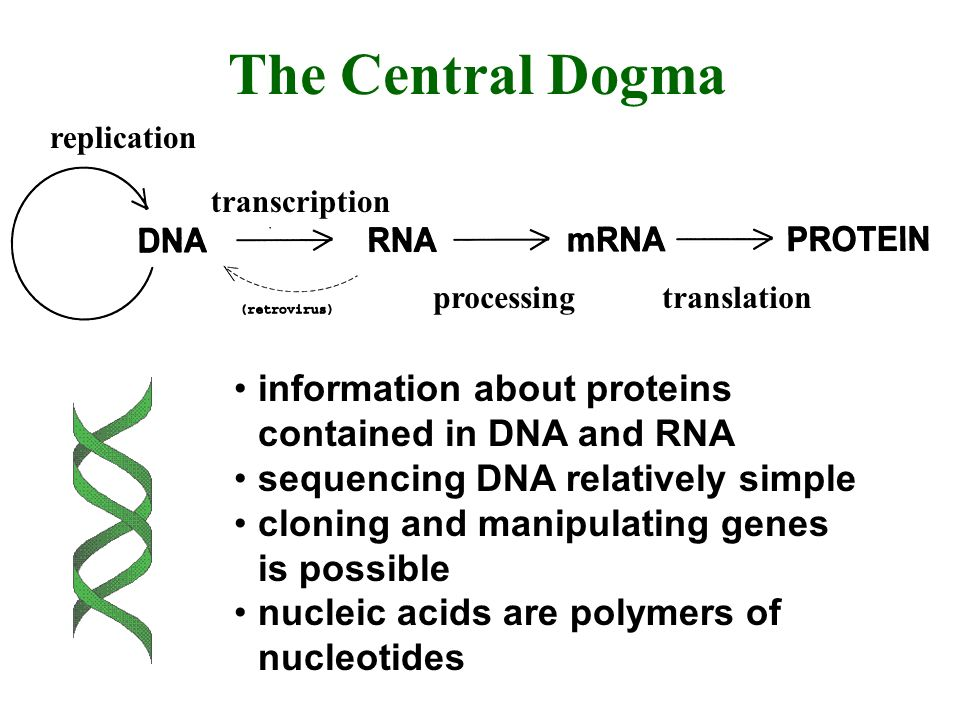 replication transcription processingtranslation The Central Dogma information about proteins contained in DNA and RNA sequencing DNA relatively simple