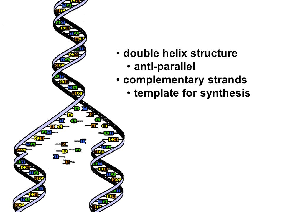 double helix structure anti-parallel complementary strands template for synthesis