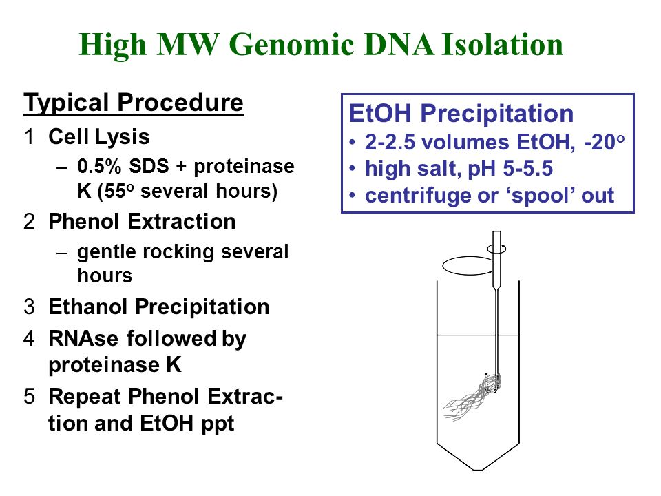 High MW Genomic DNA Isolation Typical Procedure 1Cell Lysis –0.5% SDS + proteinase K (55 o several hours) 2Phenol Extraction –gentle rocking several h