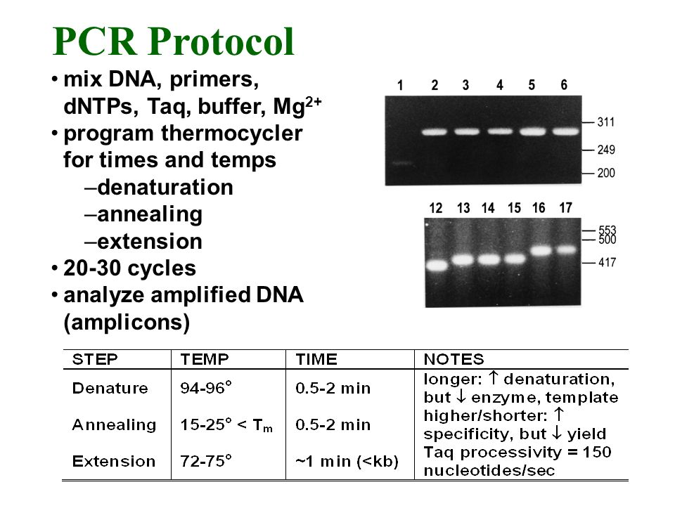 mix DNA, primers, dNTPs, Taq, buffer, Mg 2+ program thermocycler for times and temps –denaturation –annealing –extension 20-30 cycles analyze amplified DNA (amplicons) PCR Protocol