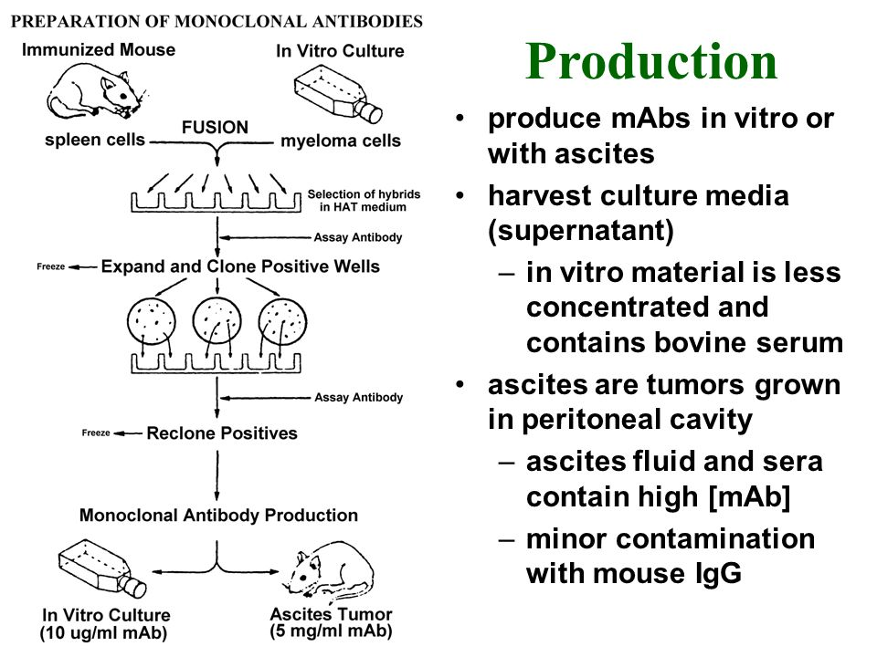 produce mAbs in vitro or with ascites harvest culture media (supernatant) –in vitro material is less concentrated and contains bovine serum ascites ar