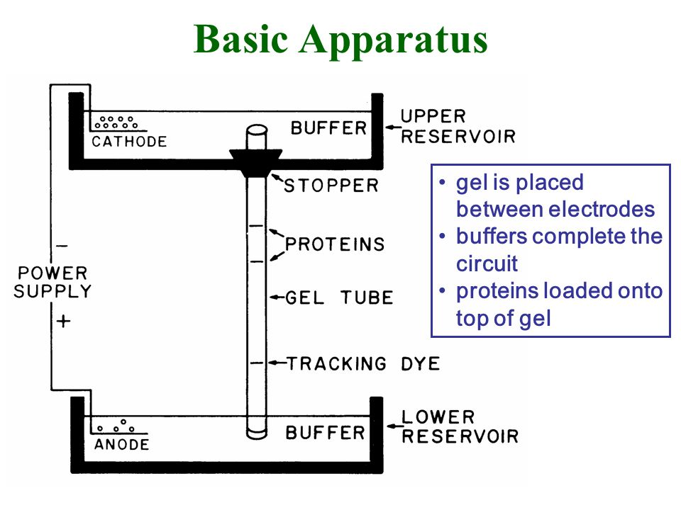 Basic Apparatus gel is placed between electrodes buffers complete the circuit proteins loaded onto top of gel