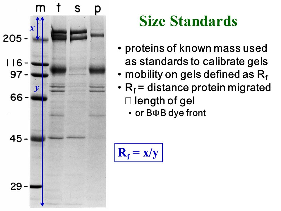 proteins of known mass used as standards to calibrate gels mobility on gels defined as R f R f = distance protein migrated length of gel or B B dye fr