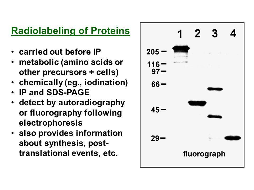 Radiolabeling of Proteins carried out before IP metabolic (amino acids or other precursors + cells) chemically (eg., iodination) IP and SDS-PAGE detec