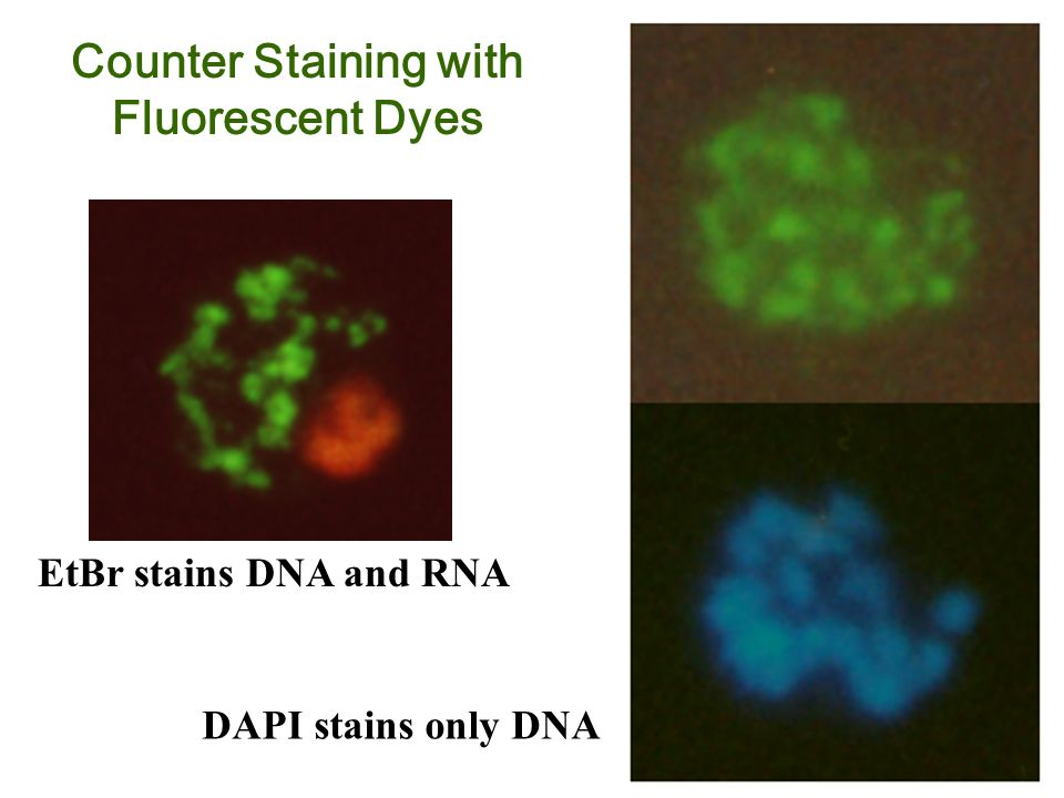 EtBr stains DNA and RNA DAPI stains only DNA Counter Staining with Fluorescent Dyes