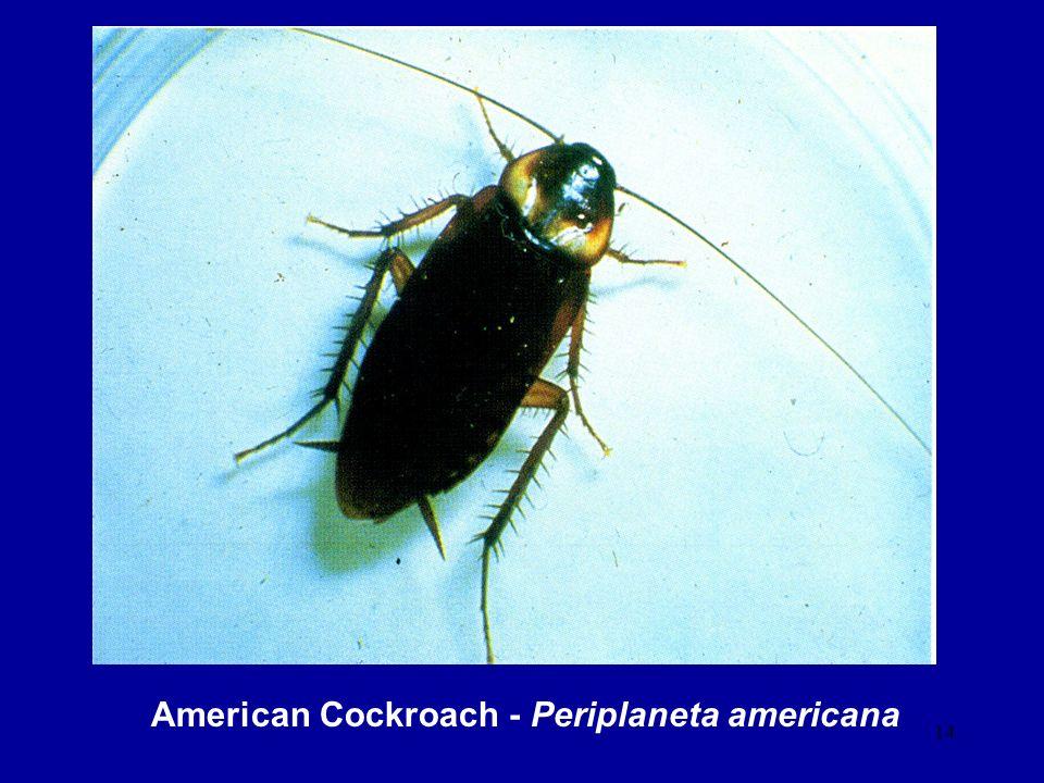 14 American Cockroach - Periplaneta americana