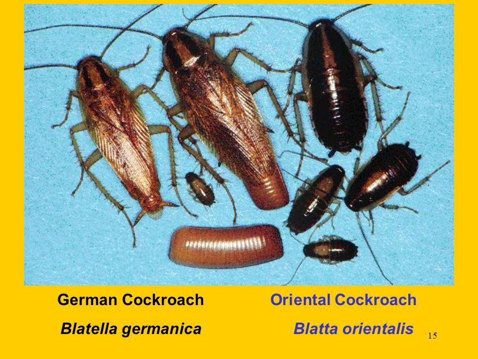15 German Cockroach Oriental Cockroach Blatella germanica Blatta orientalis