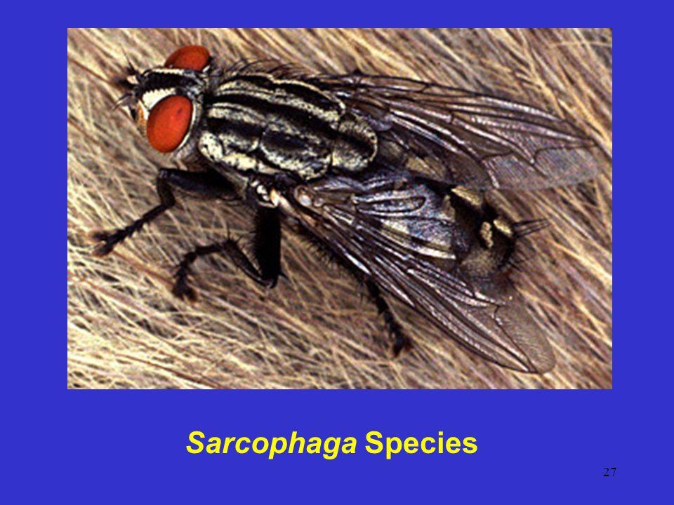27 Sarcophaga Species