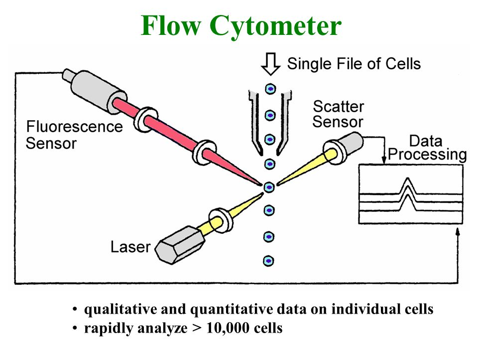 Flow Cytometer qualitative and quantitative data on individual cells rapidly analyze > 10,000 cells