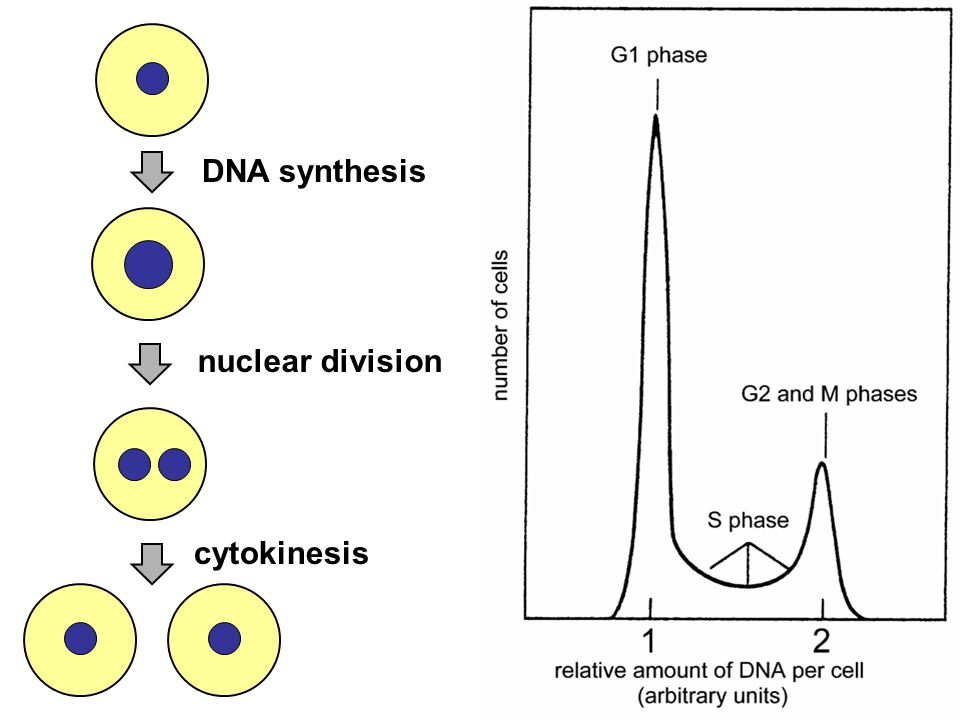 DNA synthesis nuclear division cytokinesis