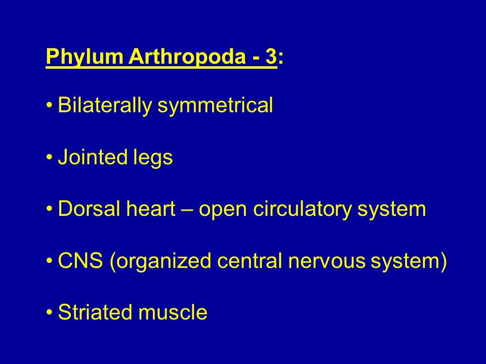Phylum Arthropoda - 3: Bilaterally symmetrical Jointed legs Dorsal heart – open circulatory system CNS (organized central nervous system) Striated mus