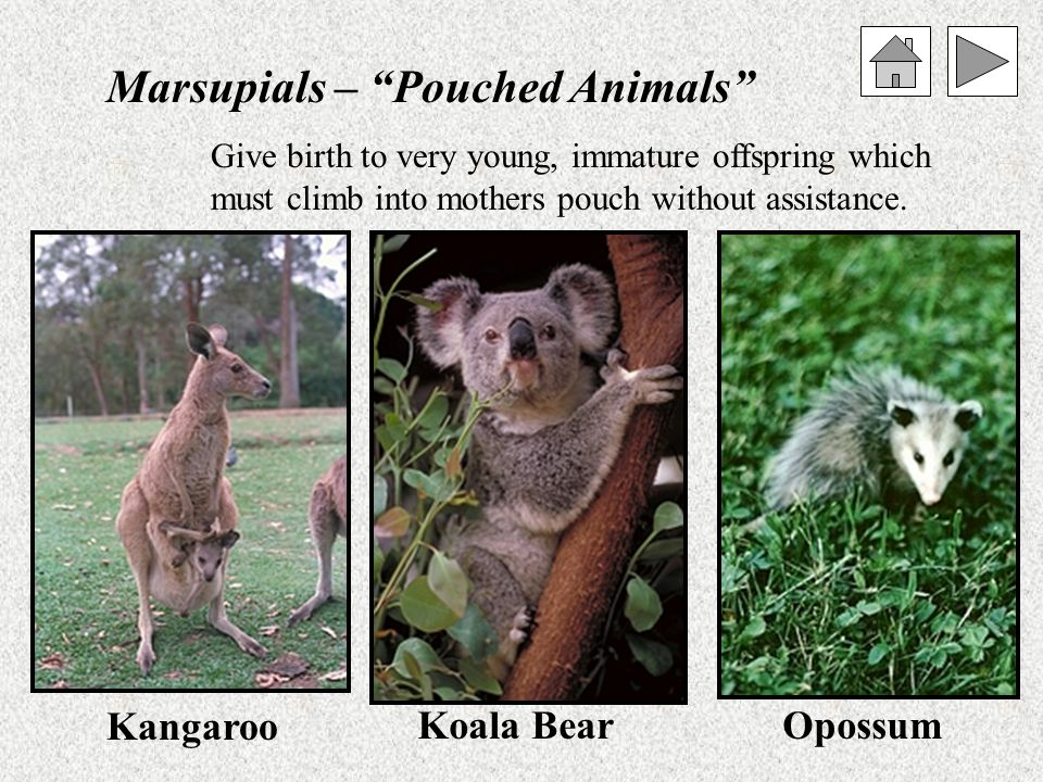 Monotremes – Egg laying mammals Platypus Spiny Anteater Only live in Australia. Most primitive of the mammals.