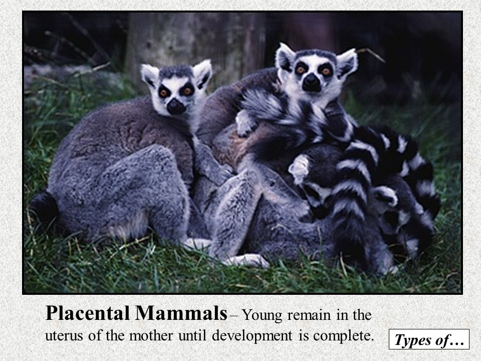 Marsupials – Pouched Animals Give birth to very young, immature offspring which must climb into mothers pouch without assistance. Kangaroo Koala BearO
