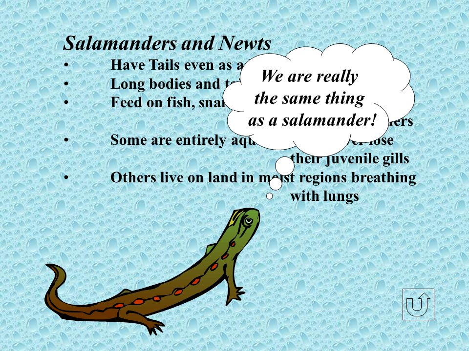 Salamanders and Newts Have Tails even as adults Long bodies and tails with four short limbs Feed on fish, snails, insects, worms and other salamanders