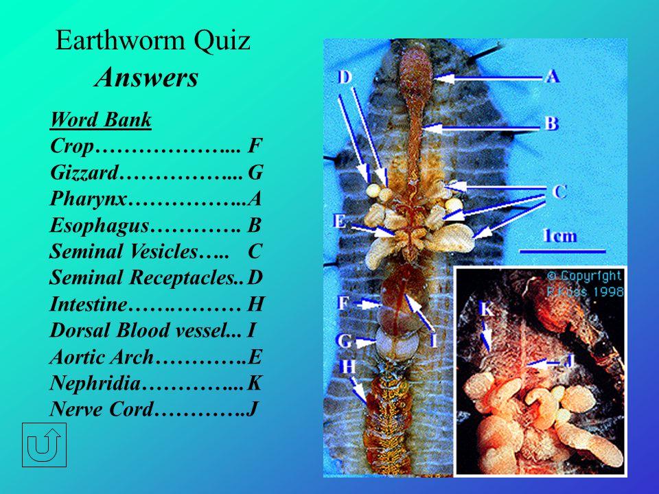 Earthworm Quiz Word Bank Crop Gizzard Pharynx Esophagus Seminal Vesicles Seminal Receptacles Intestine Dorsal Blood vessel Aortic Arch Nephridia Nerve