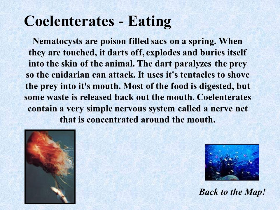 Coelenterates have a simple digestive system called the gastrovascular cavity. They are made up of three main body layers 1. epidermis: outer body 2.