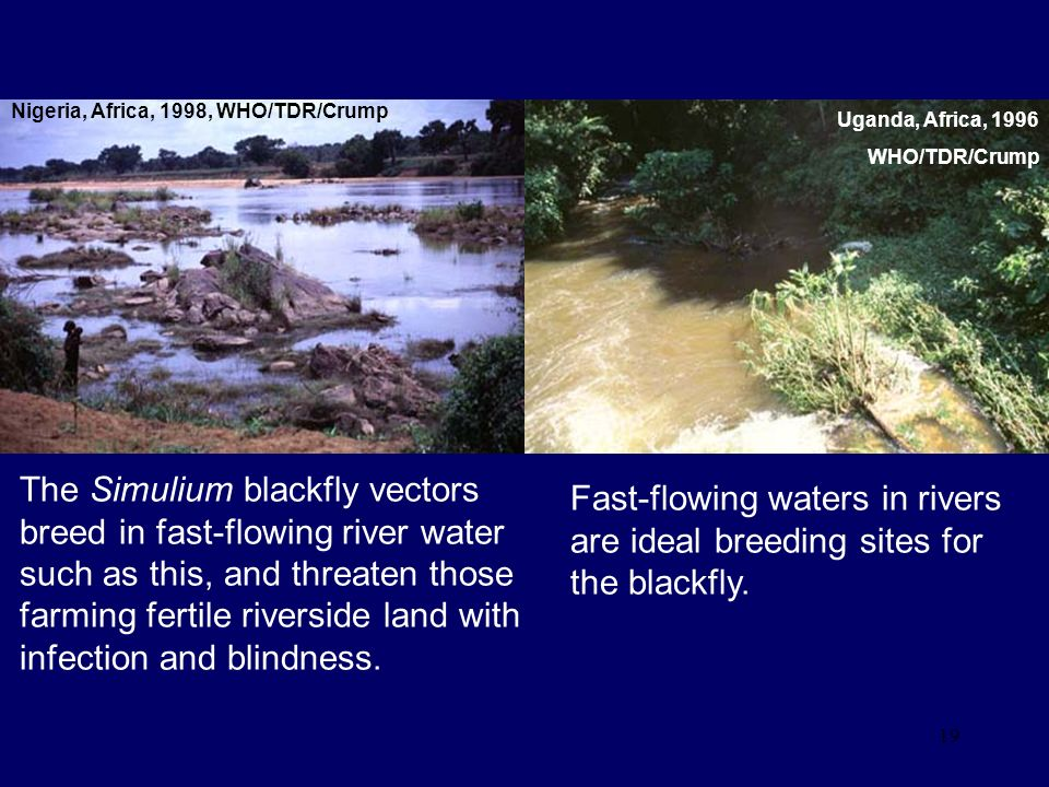 19 Fast-flowing waters in rivers are ideal breeding sites for the blackfly. The Simulium blackfly vectors breed in fast-flowing river water such as th