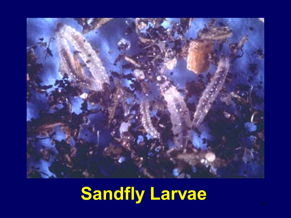 95 Sandfly Larvae