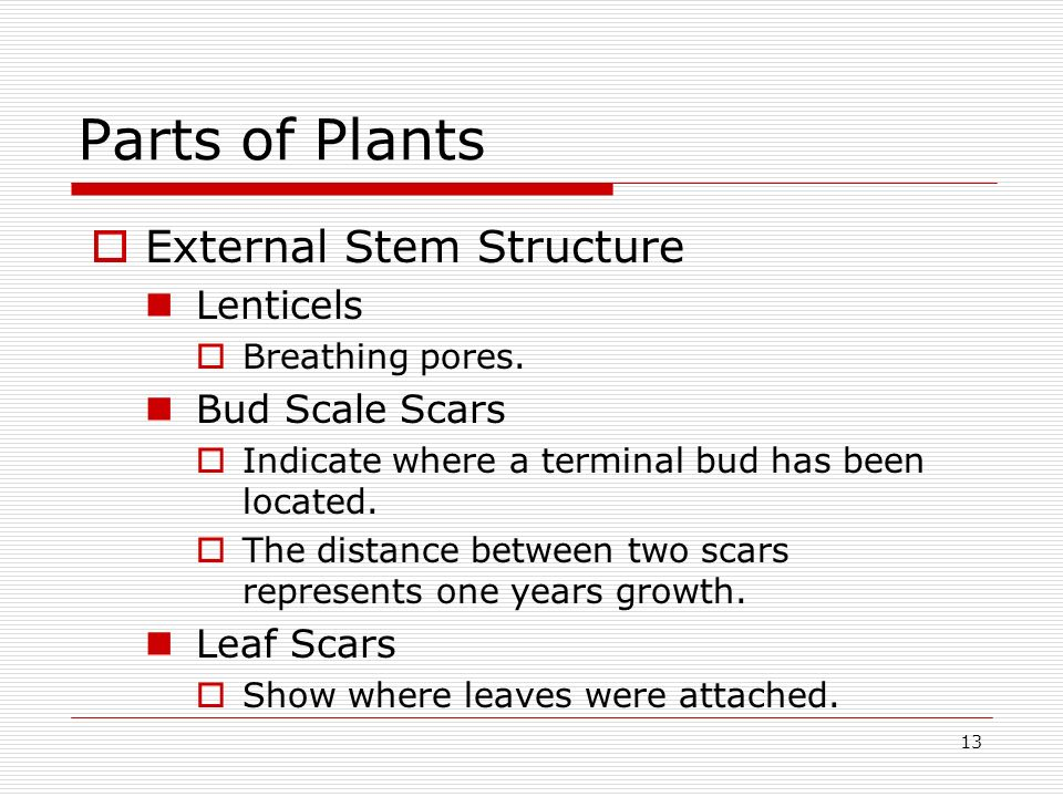 13 Parts of Plants External Stem Structure Lenticels Breathing pores. Bud Scale Scars Indicate where a terminal bud has been located. The distance bet