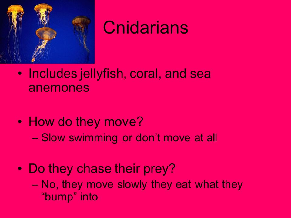 Cnidarians Includes jellyfish, coral, and sea anemones How do they move? –Slow swimming or dont move at all Do they chase their prey? –No, they move s