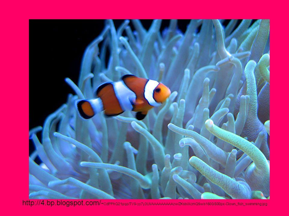 http://4.bp.blogspot.com/- CdPPhQ21pqo/TV9-yy7y3UI/AAAAAAAAAzw/ZKsbiXcmQ9w/s1600/800px-Clown_fish_swimming.jpg