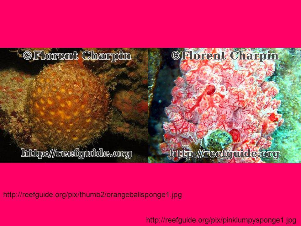 http://reefguide.org/pix/thumb2/orangeballsponge1.jpg http://reefguide.org/pix/pinklumpysponge1.jpg