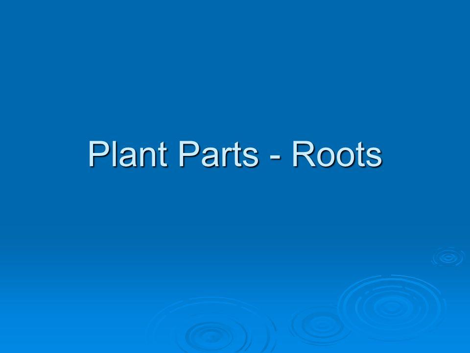The arrangement of the bundles: The arrangement of the bundles: Allows dicot stems to grow thicker & taller Allows dicot stems to grow thicker & talle