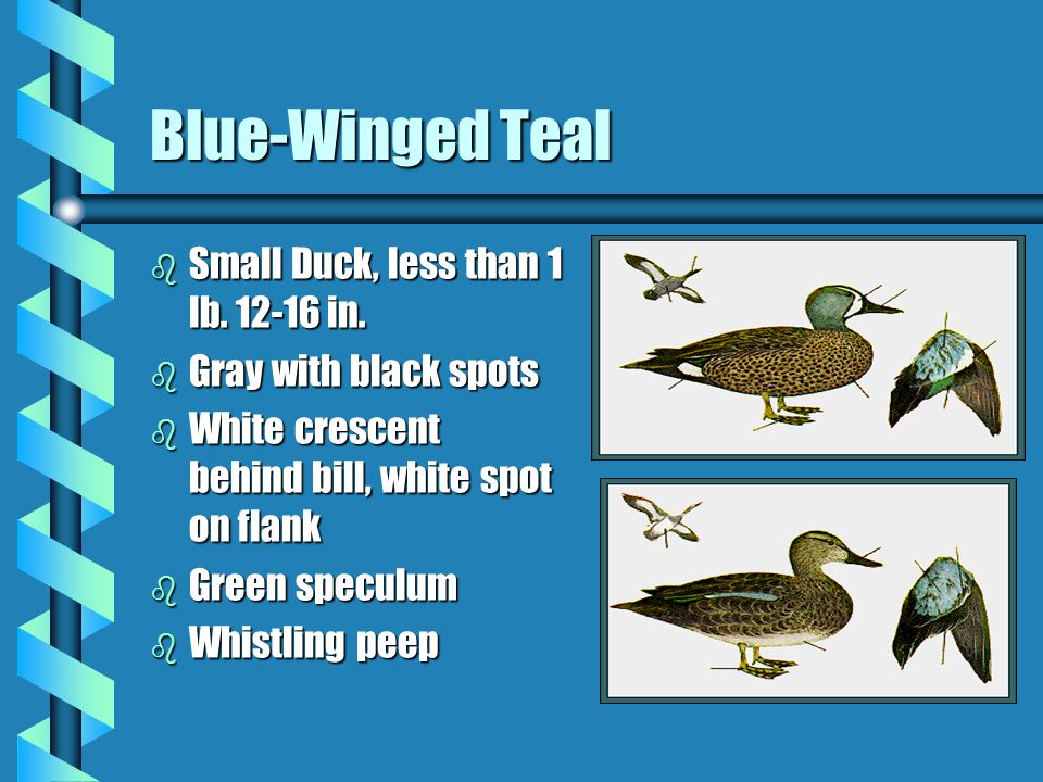 Blue-Winged Teal b Small Duck, less than 1 lb. 12-16 in. b Gray with black spots b White crescent behind bill, white spot on flank b Green speculum b