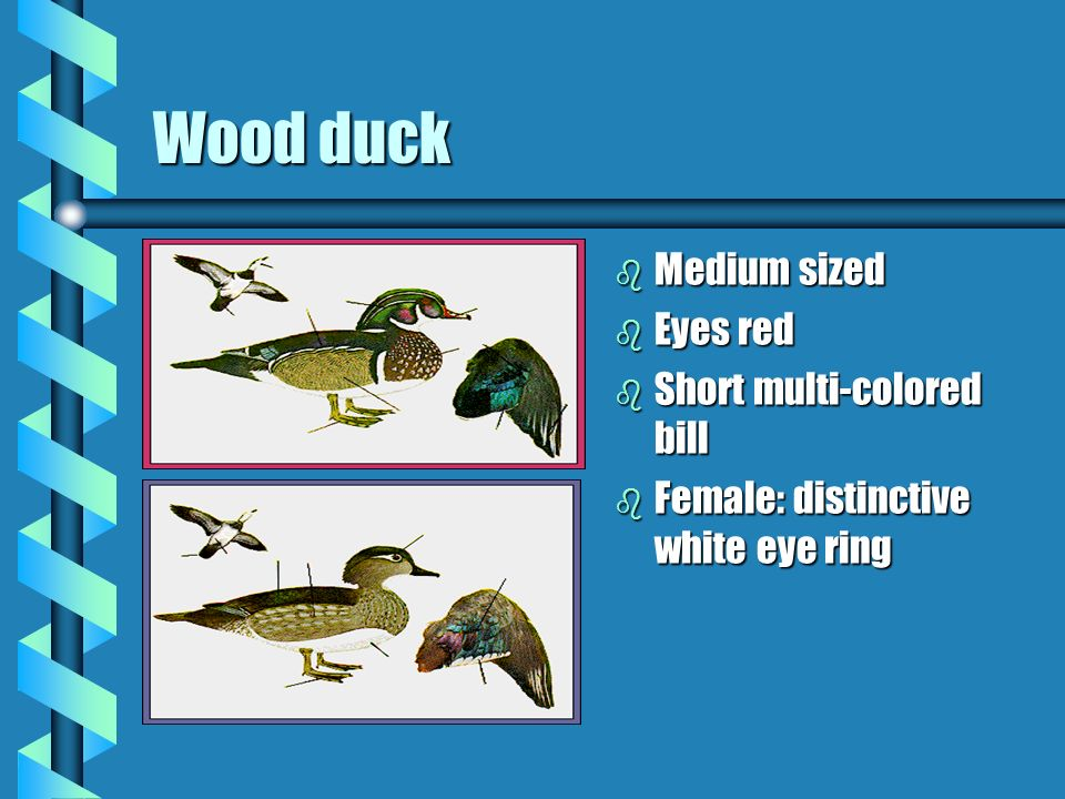 Wood duck b Medium sized b Eyes red b Short multi-colored bill b Female: distinctive white eye ring