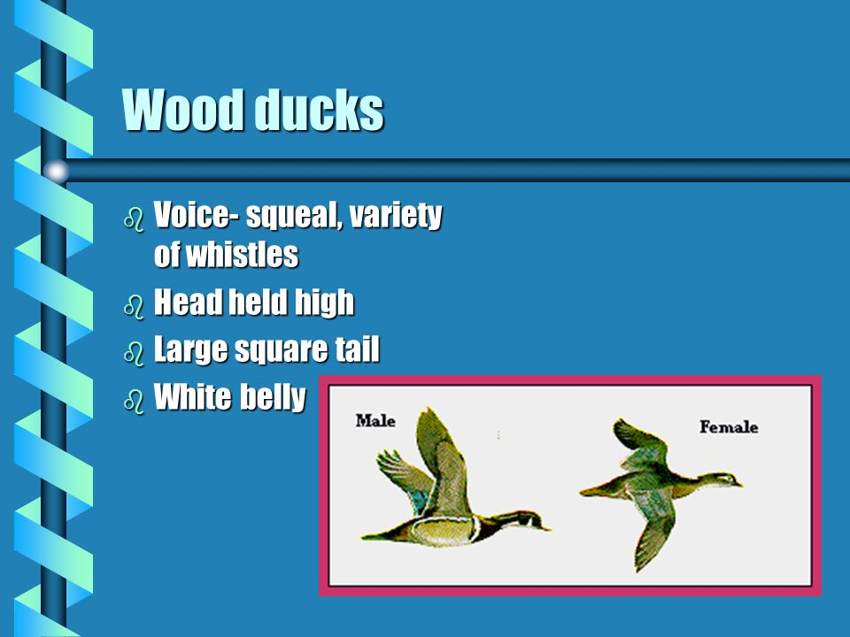 Wood ducks b Voice- squeal, variety of whistles b Head held high b Large square tail b White belly