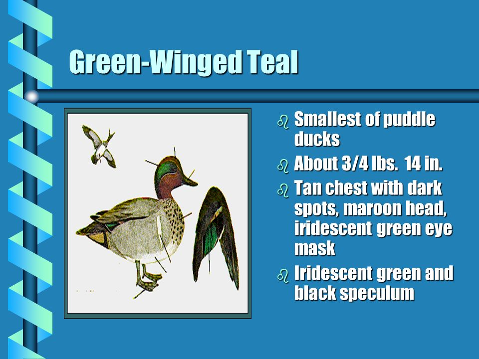 Green-Winged Teal b Smallest of puddle ducks b About 3/4 lbs. 14 in. b Tan chest with dark spots, maroon head, iridescent green eye mask b Iridescent