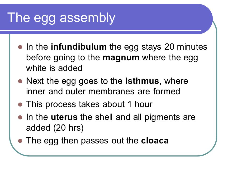 The egg assembly In the infundibulum the egg stays 20 minutes before going to the magnum where the egg white is added Next the egg goes to the isthmus