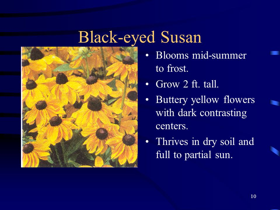 10 Black-eyed Susan Blooms mid-summer to frost. Grow 2 ft. tall. Buttery yellow flowers with dark contrasting centers. Thrives in dry soil and full to