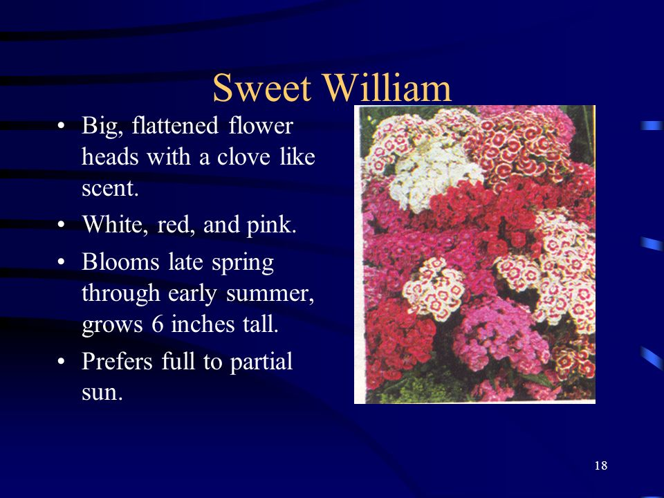 18 Sweet William Big, flattened flower heads with a clove like scent. White, red, and pink. Blooms late spring through early summer, grows 6 inches ta
