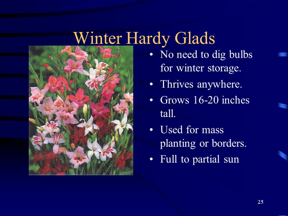 25 Winter Hardy Glads No need to dig bulbs for winter storage. Thrives anywhere. Grows 16-20 inches tall. Used for mass planting or borders. Full to p