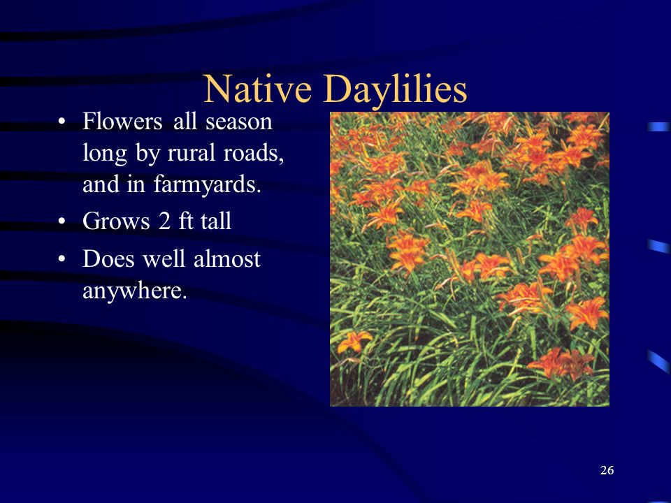 26 Native Daylilies Flowers all season long by rural roads, and in farmyards. Grows 2 ft tall Does well almost anywhere.