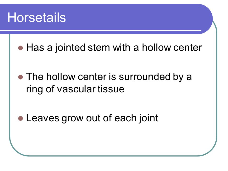 Horsetails Has a jointed stem with a hollow center The hollow center is surrounded by a ring of vascular tissue Leaves grow out of each joint