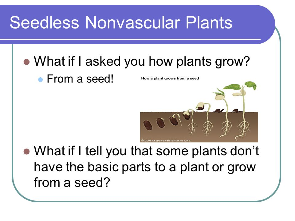 Seedless Nonvascular Plants What if I asked you how plants grow? From a seed! What if I tell you that some plants dont have the basic parts to a plant