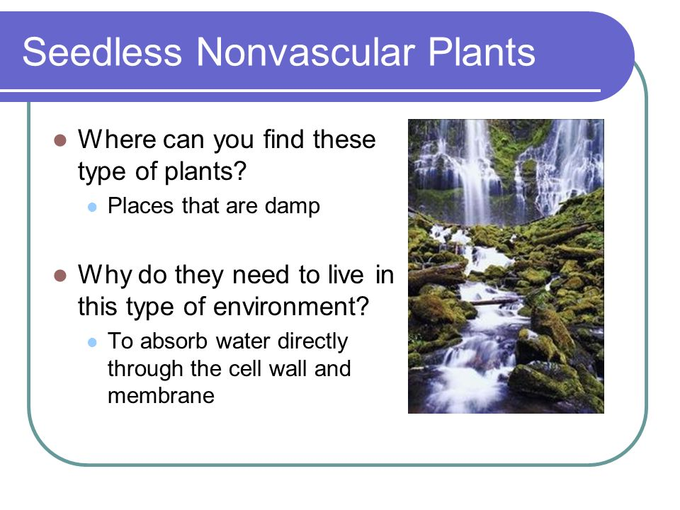 Seedless Nonvascular Plants Where can you find these type of plants? Places that are damp Why do they need to live in this type of environment? To abs