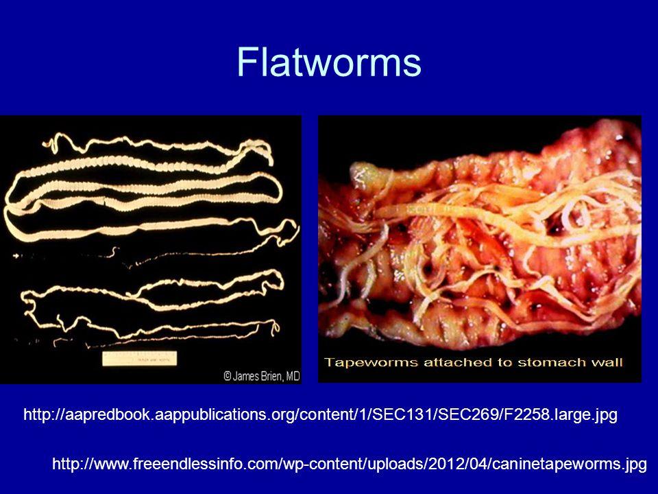 Flatworms http://www.freeendlessinfo.com/wp-content/uploads/2012/04/caninetapeworms.jpg http://aapredbook.aappublications.org/content/1/SEC131/SEC269/