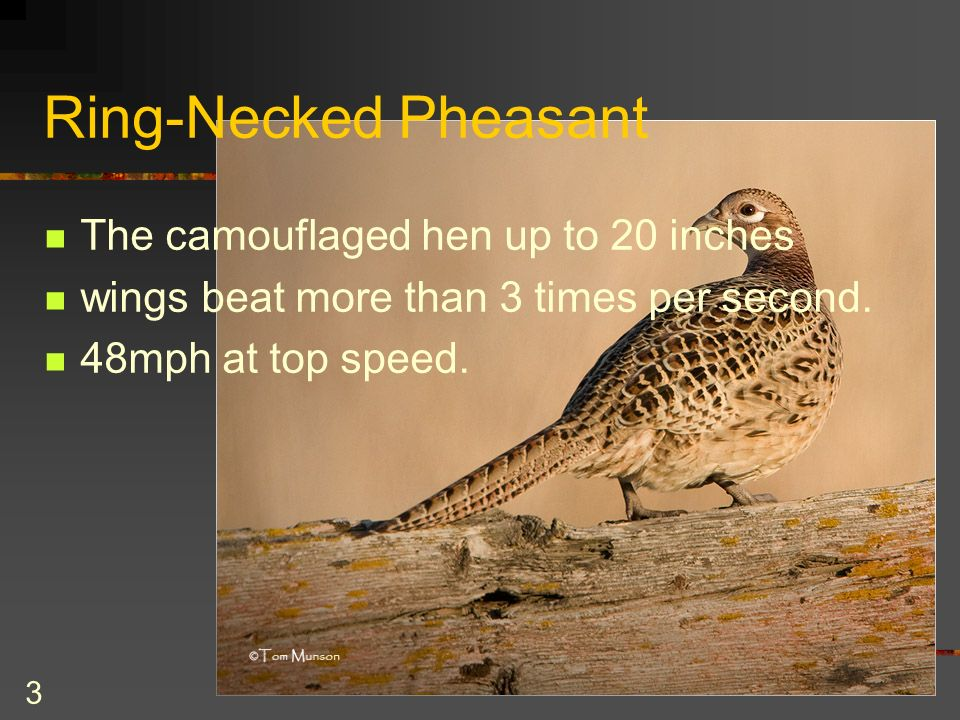 3 Ring-Necked Pheasant The camouflaged hen up to 20 inches wings beat more than 3 times per second.