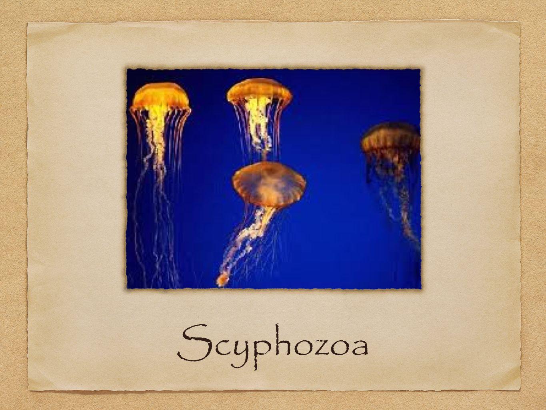 Kingdom: animal Phylum: Cnidaria