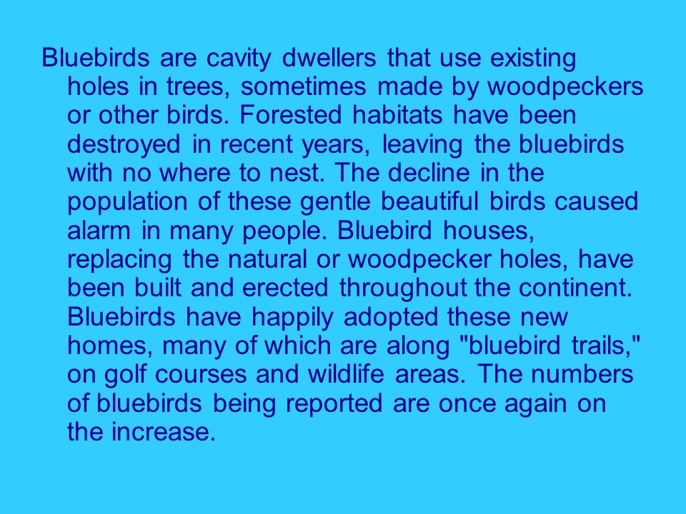 Bluebirds are cavity dwellers that use existing holes in trees, sometimes made by woodpeckers or other birds.