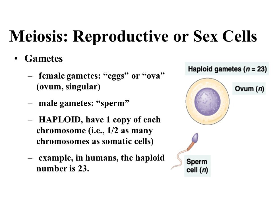 Meiosis: Reproductive or Sex Cells Gametes – female gametes: eggs or ova (ovum, singular) – male gametes: sperm – HAPLOID, have 1 copy of each chromos