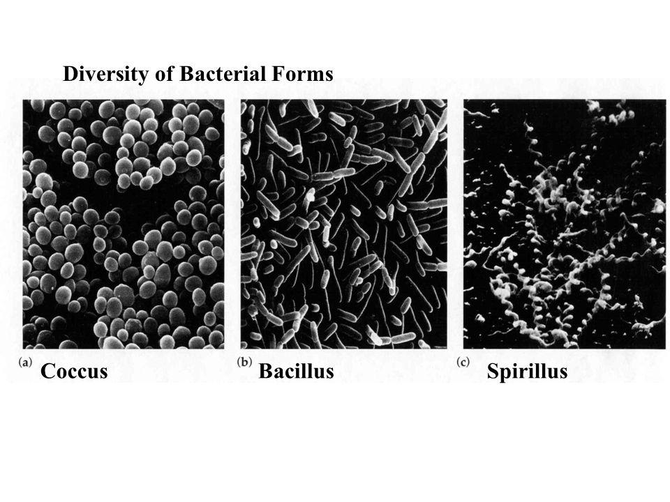 Diversity of Bacterial Forms CoccusBacillusSpirillus