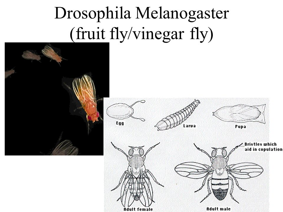Drosophila Melanogaster (fruit fly/vinegar fly)